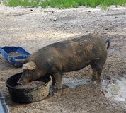Young sow for sale in Fort Polk, Louisiana
