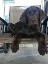 AKC Registrable 3 month old chocolate Labrador pup w/extras in Fort Hood, Texas