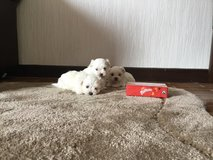 3 Teacup Maltese Puppies available Now in Las Vegas, Nevada