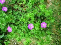 Geranium (purple flowers) in Joliet, Illinois