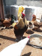 Young Chicken Flock PPU in Alamogordo, New Mexico