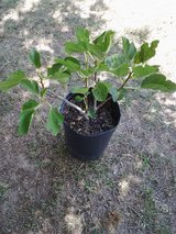 Fig tree in Cleveland, Texas
