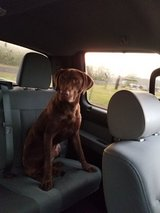 Chocolate lab/ Cur mix in Fort Polk, Louisiana