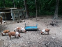Feeder pigs in Cleveland, Texas
