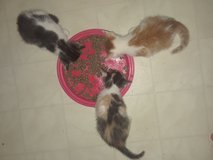 Free Kittens-Cleveland in Cleveland, Texas