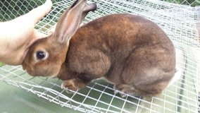 rex rabbit in Fort Campbell, Kentucky