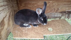 male rex rabbit in Fort Campbell, Kentucky