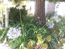 Agapanthus plants! 7 White and blue in Travis AFB, California