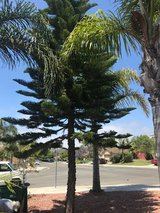 Free Pine Tree in Oceanside, California