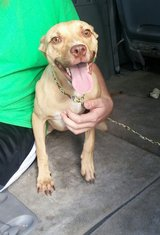 Loving pit mix needs experienced home in Cherry Point, North Carolina