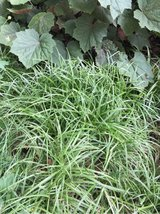 Japanese Blue Sedge Grass / Plant in Glendale Heights, Illinois