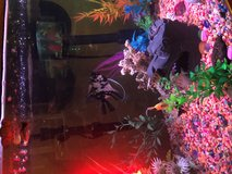 2 healthy Angel Fish in Yucca Valley, California