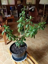 Jade Plant in Oswego, Illinois