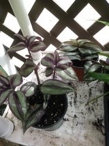 "Wandering Jew/Judio Errante 9"" live plant for sale in St. Charles, Illinois"