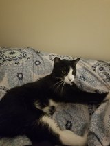 1 year old black & white cat in Travis AFB, California
