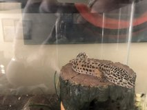 Leopard gecko in Travis AFB, California