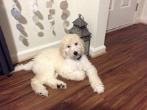 Goldendoodle Puppy Goldenretriever Poodle in Fort Belvoir, Virginia
