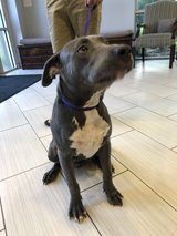 ****Update!  Owner and Blue Reunited!***Found Male Grey w/White Pit Bull in League City, Texas