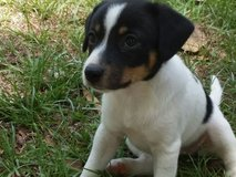 Chihuahua mix puppies in Conroe, Texas