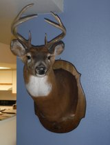 White Tail Deer Mount in Camp Lejeune, North Carolina