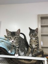 2 Female Spayed Kittens in Clarksville, Tennessee