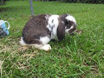 Rabbits mini lops in Houston, Texas