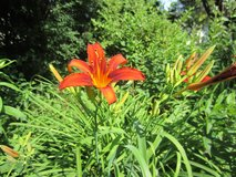 Red Day-lily Plant #2 Pot in Plainfield, Illinois