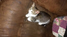 Rescued female kitten is now ready for furever home in Leesville, Louisiana