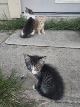 Free Kittens w/ shots and fixed!!! in Spring, Texas