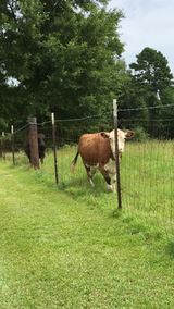Registered Miniature Hereford Cow in Leesville, Louisiana