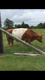 Registered Miniature Belted Galloway cow and bull in Leesville, Louisiana