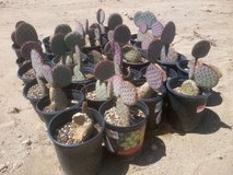 Prickly Pear Cactus--Santa-Rita Tubac (Purple) in Yucca Valley, California