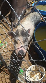 Pot belly pig w kennel in Yucca Valley, California