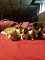 Kittens in Bolingbrook, Illinois