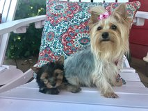 AKC Yorkie Puppy in Travis AFB, California