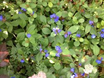 Plumbago Ground Cover in Orland Park, Illinois