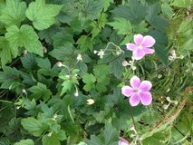 Anemone in Orland Park, Illinois