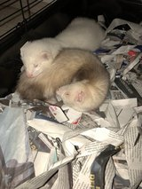 Rehoming Ferrets in Fort Lewis, Washington