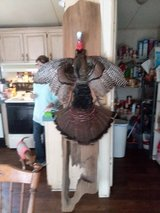 Mounted Turkey in Hinesville, Georgia