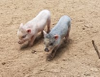 Mini potbelly piglets in Cleveland, Texas