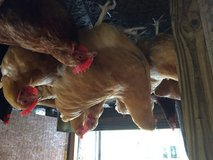 Large Laying hens in Beaufort, South Carolina