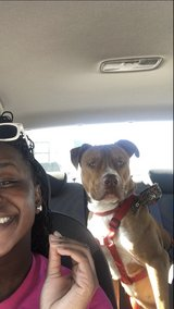 Pit bull in Fort Hood, Texas