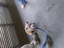 15wk old blue nose/ american staffordshire terrier in Fort Lewis, Washington