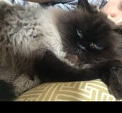 Lost Cat in Spangdahlem, Germany