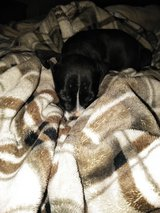 Pit/boxers puppies in Baytown, Texas