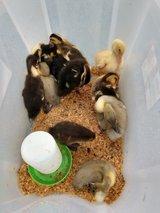 Assorted Ducks in Camp Lejeune, North Carolina
