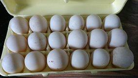 Duck Eggs in Camp Lejeune, North Carolina
