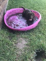 chocolate lab in Spring, Texas