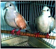 two ringneck doves proven pair with cage in Naperville, Illinois