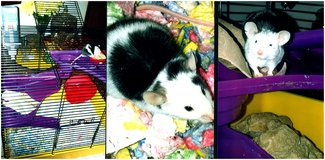 loving and playfull b.w. and w.b. need good homes with complete cage sets in Naperville, Illinois